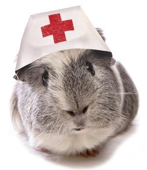 Guinea-pig-doctor